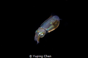 Shining in the dark/Bobtail Squid//Lembeh, Indonesia/Cano... by Yuping Chen
