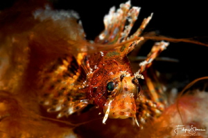 Juvenile Lionfish, Puerto Galera, The Philippines. by Filip Staes