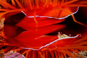 Flame scallop or rough fileclam (Ctenoides scaber), Puert... by Filip Staes