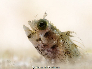 Spinyhead blenny Acanthemblemaria spinosa Bonaire by Aleksandr Marinicev