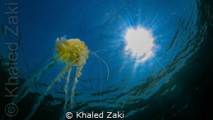 Jelly fish by Khaled Zaki