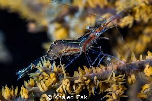 Shrimp on line by Khaled Zaki