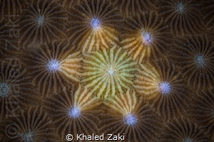 Coral Mandala by Khaled Zaki