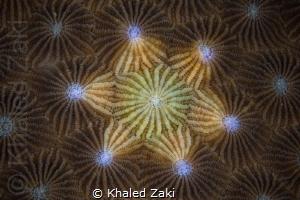 Coral Mandala by Khaled Zaki