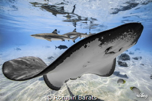 sting rays and sharks in the lagoon by Romain Barats