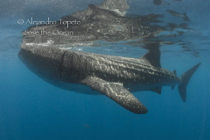 Whale Shark and reflex, Isla Contoy México by Alejandro Topete