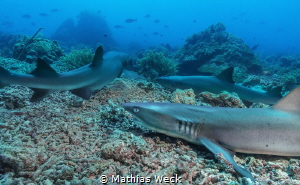 White tip reef sharks at Tubbataha by Mathias Weck