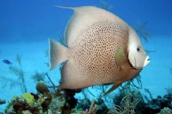 Gray Angelfish. Roaming about the deck of the Oro Verde o... by Allan Vandeford