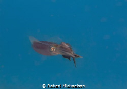 Squid with fish. It may be a sergeant major. by Robert Michaelson