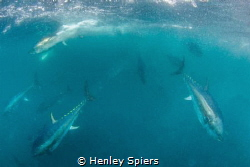 Tuna Charge by Henley Spiers