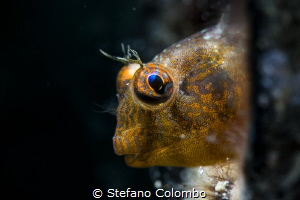 Blenny hiding himself in a tube by Stefano Colombo