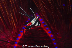 cardinalfish (Pterapogon kauderni) in flames by Thomas Bannenberg