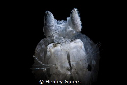 White Mantis Shrimp by Henley Spiers