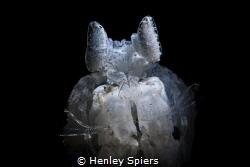 White Mantis Shrimp by Henley Spiers