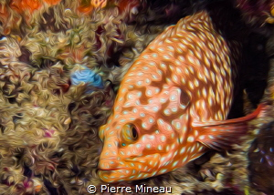 Coral grouper by Pierre Mineau