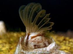 Balanus eburneus Ivory barnacle by Cumhur Gedikoglu