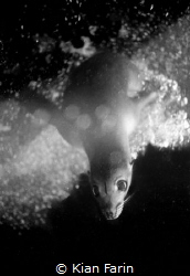 The Curious Sea Lion / Shot on film on my Nikonos V, this... by Kian Farin