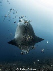 Sunny Side Up  Southern Ocean Sunfish - Mola ramsayi ... by Stefan Follows