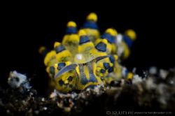 Shaun the sheep Seaslug (Stiliger Ornatus) Tulamben, In... by Irwin Ang