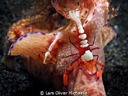 Emperor shrimps (Periclimenes imperator) riding on Cerato... by Lars Oliver Michaelis