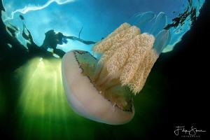 Barrel jellyfish, Gemaal van Dreischor, Lake Grevelingen,... by Filip Staes