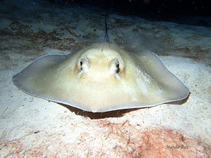 Stingray, Utila Honduras. by Marylin Batt