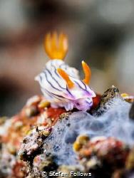 Top of the Heap  Nudibranch (id please)  Batu Kelebit... by Stefan Follows