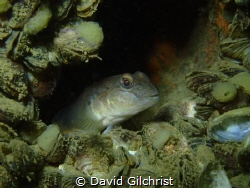 A Goby rests in the boiler tube of the wreck of the Ralei... by David Gilchrist