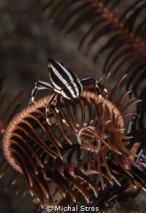 Crinoid Squat Lobster by Michal Stros