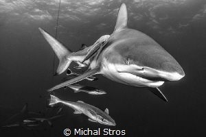 Oceanic Blacktip Shark by Michal Stros
