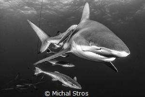 Oceanic Blacktip Shark by Michal Stros