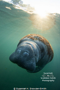 """""""Sunrise Manatee""""  A manatee is bathed in sun rays in t... by Susannah H. Snowden-Smith"""