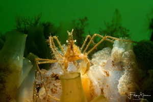 common spider crab (Macropodia rostrata), Zeeland, The Ne... by Filip Staes