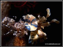 Two harlequins shrimp sharing there favorite food. Notice... by Yves Antoniazzo