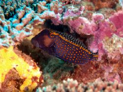 Boxfish taken at Exmouth by Natasha Tate