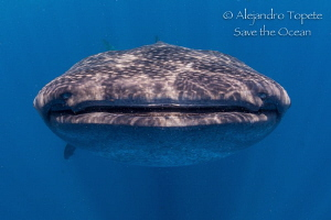 Whaleshark close up, Isla Contoy México by Alejandro Topete