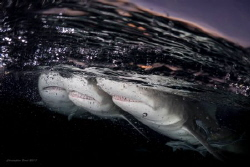 Title: Sharks Anonymous   by Christopher Borel