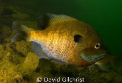 A male Bluegill Sunfish in local Quarry. by David Gilchrist