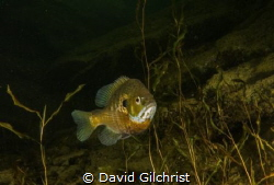 A male Bluegill Sunfish in a local Quarry. by David Gilchrist