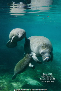 Sweet MomentA manatee calf looks camera another one nurses mom. Photographed Three Sisters Spring Crystal River Tuesday. mom Tuesday