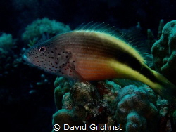Speckled Hawkfish, an interesting  resident of the reefs ... by David Gilchrist