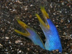 Twin Ribbon Eels Bali by Brad Cox