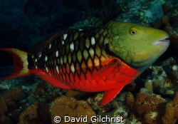 A Stoplight Parrotfish (Initial Phase) brightens up the w... by David Gilchrist