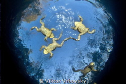 Frogs - Common Toad (Bufo bufo) by Viktor Vrbovský