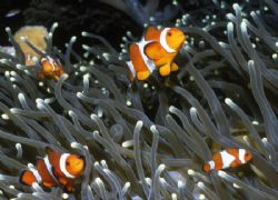Nemo's Family before the Barracuda came. by David Spiel