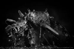 M O N S T E R  Flamboyant cuttlefish (Metasepia pfeffer... by Irwin Ang