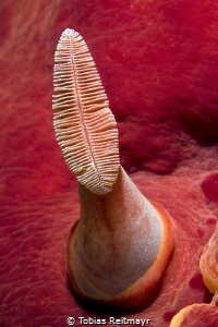 Rhinophore of Spanish Dancer, Renggis Island, Tioman by Tobias Reitmayr