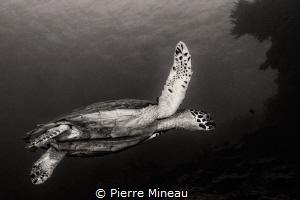 Hawksbill by Pierre Mineau