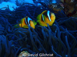 A pair of Anemone Fish from the Red Sea. by David Gilchrist