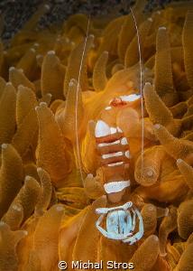 Anemone shrimp by Michal Stros